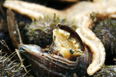 Sea-snail coming out of shell royalty free stock photo