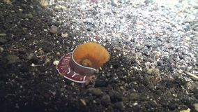 Sea snail Conus ferrugineus hunting and mining into the sand in the night. In Indonesia stock video