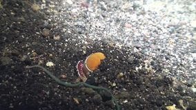 Sea snail Conus ferrugineus hunting and mining into the sand in the night. In Indonesia stock video footage