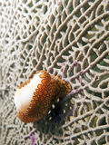 Sea Snail: Flamingo Tongue Stock Images