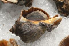 Sea snail  food Royalty Free Stock Image