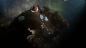 Sea snail on kelp underwater in ocean of Alaska. Swimming in amazing world of beautiful wildlife. Inhabitants in search of food. Abyssal relax diving stock footage