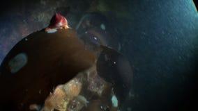 Sea snail on kelp underwater in ocean of Alaska. Swimming in amazing world of beautiful wildlife. Inhabitants in search of food. Abyssal relax diving stock video footage
