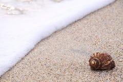Sea Snail. Marine snail on a sandy beach in the sunset at Black sea - Romania Stock Photo