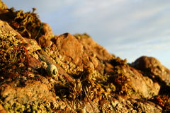 Sea snail and molluscs. On a Scottish cliff face wall at low tide Stock Image