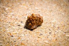 Sea snail Stock Photography
