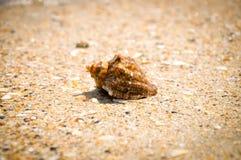 Sea snail Stock Photo