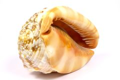 Sea snail shell Royalty Free Stock Photo
