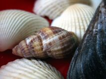 sea-snail-shell Royalty Free Stock Photo