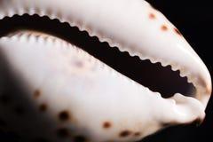 Sea snail shell Royalty Free Stock Photography