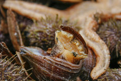 Sea snail in shell. Living sea snail coming out of shell with an orange starfish in the background Stock Photography