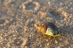 Sea snail shell Stock Image