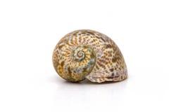 Sea snail shells Royalty Free Stock Photography