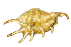 Sea snail with spikes Royalty Free Stock Photo