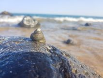 Sea snail supported on the rock and wet by the sea. Mollusk, animal, triton, predatory, seashore, exotic, shell, large, surf, splash, litorea, seashell, white stock images