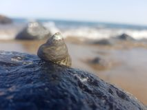 Sea snail supported on the rock and wet by the sea. Mollusk animal triton predatory seashore exotic shell large surf splash litorea seashell white winkle royalty free stock images