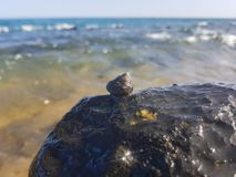 Sea snail supported on the rock and wet by the sea. Mollusk, animal, triton, predatory, seashore, exotic, shell, large, surf, splash, litorea, seashell, white royalty free stock image