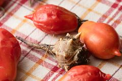 Sea snail with tomatoes Royalty Free Stock Photo