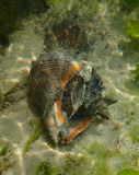Sea snail Stock Image