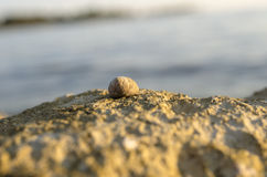 Sea snail or whelk on top of a coastal rock Royalty Free Stock Images