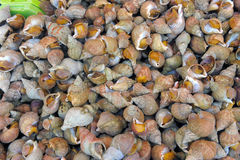 Sea snails Royalty Free Stock Images