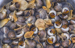 Sea snails or marine gastropod mollusks Stock Photos