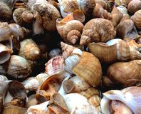 Sea snails Royalty Free Stock Image
