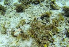 Sea snake on sea bottom. Underwater photo. Sand seabottom and seaweed. Royalty Free Stock Images