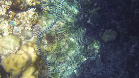Sea snake on coral reef stock video footage