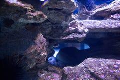 Sea snake hiding into stones Royalty Free Stock Image
