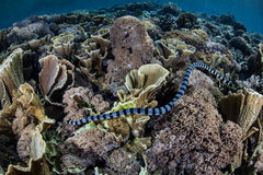Sea Snake Hunting. A Banded Sea Snake (Laticauda colubrina) hunts for small fish among coral colonies on a shallow reef within Komodo National Park, Indonesia stock photography