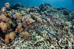Sea Snake Hunting on Reef. A Banded Sea Snake (Laticauda colubrina) hunts for small fish among coral colonies on a shallow reef within Komodo National Park royalty free stock image