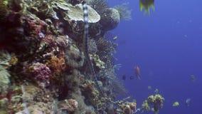 Sea snake and school fish underwater in ocean of wildlife Philippines. stock video