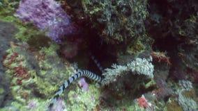 Sea snake and school fish underwater in ocean of wildlife Philippines. stock footage
