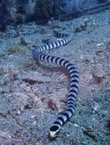 Sea snake, Sogod Bay, Padre Burgos, Leyte, Philippines, Asia Stock Photo