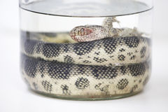 Sea snake specimen. Sea snake (Hydrophiidae sp.), being contained in specimen jar after someone brought this snake in Royalty Free Stock Image
