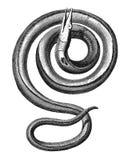 Sea snake Royalty Free Stock Photo