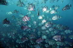 Sea of Spadefish Royalty Free Stock Photography