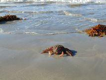 A spider crab on the beach 4 royalty free stock image