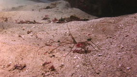 Sea spider on a sandy bottom in search of food stock footage