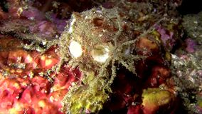 Sea spider  on sponge Lembeh strait Indonesia stock footage