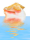 Sea spiral shell in water Stock Photos