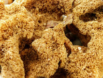 Sea Sponge 1 Stock Image