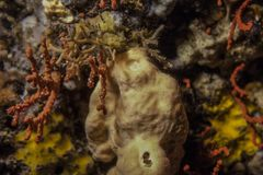 Sea sponge and red coral on the reef stock photography