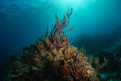 Sea sponge on reef. Colorful tropical reef topped with purple rope sponge reaching towards sunlight Stock Photo