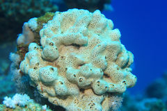 Sea sponge. Underwater in the tropical coral reef royalty free stock photography