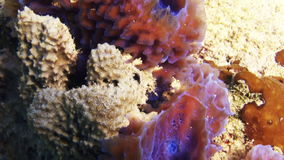 Sea sponges in the midst of a coral reef stock video
