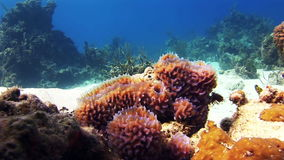 Sea sponges in the midst of a coral reef. In Bahamas. Amazing, beautiful underwater world Bahamas and the life of its inhabitants, creatures and diving stock video footage