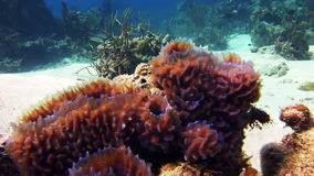 Sea sponges in the midst of a coral reef stock footage