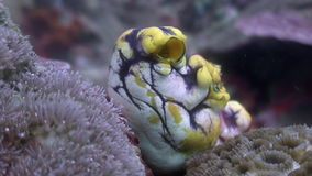 Sea sponges underwater in ocean of wildlife Philippines. stock footage